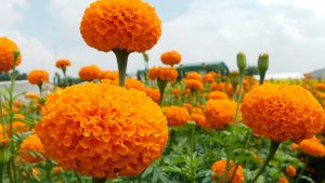 Orange Ball, a new marigold hybrid from East-West Seed India is winning hearts of Maharashtra farmers